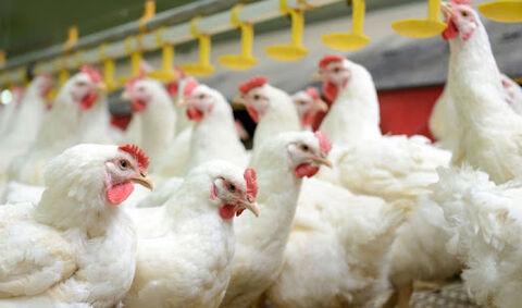 با نرخ ترجیحی به مرغداران برای احیاء و توسعه مرغ لاین آرین